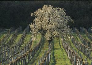 Burgenlandischer Weingarten im Fruhling, Foto OWM Lukan