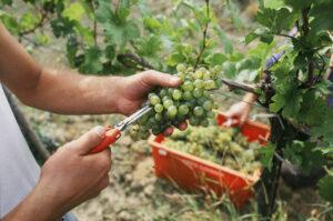 Weinlese im niederösterreichischen Kamptal. Foto: ÖWM/Komitee Kamptal