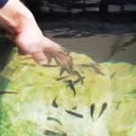 Die Rötlichen Saugbarben gelten als Fische zum Anbeißen. Foto: oepb