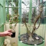 Die Fockea Capensis gilt als die älteste wasserspeichernste Topfpflanze der Welt und ist bereits seit 1788 im Schönbrunner Palmenhaus heimisch. Foto: oepb