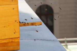 Die kleinen Stadt-Bienen fühlen sich in ihrem Refugium sichtlich wohl. Foto: NHM, Hisham Momen