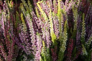 Callunen in torffreier Erde gibt es bei bellaflora. Foto: bellaflora