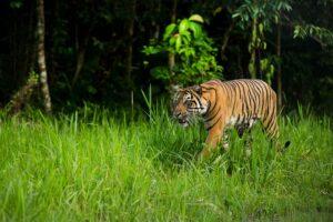 Der vom Aussterben bedrohte Sumatra-Tiger. Foto: Paul Hilton / Greenpeace