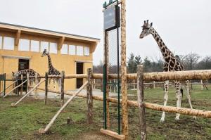 ... stolzieren die Giraffen in ihrem Ausweichquartier umher. Foto: Daniel Zupanc