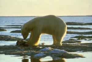 Gemäß Zählungen leben 25.000 Eisbären in Freiheit. Das Eis schmilzt den Tieren jedoch unter den Pfoten weg. In Zoos haben sie Überlebens-Chancen, wenngleich die Tiere eingesperrt sind. Foto: Olsen