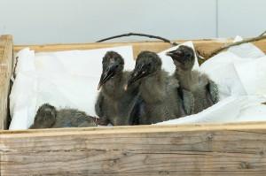 Waldrappaufzucht im Zoo Wien. Foto: Daniel Zupanc