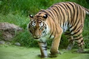 Sibirischer Tiger. Foto: Daniel Zupanc