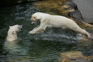 Eisbären-Foto: Franz Wunsch