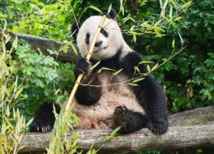 Panda-Weibchen Yang Yang. Foto: Daniel Zupanc