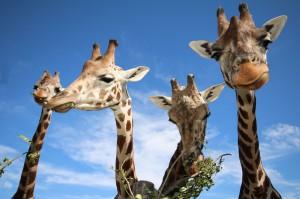 Giraffen-Foto: Tiergarten Schönbrunn/Barbara Feldmann