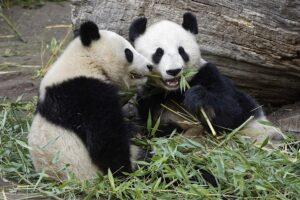 Fu Bao mit seiner Mutter Yang Yang. Foto: Tiergarten Schönbrunn/Norbert Potensky