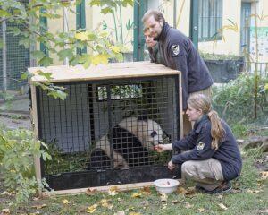 Fu Bao wird von den Pflegern in aller Ruhe auf die weite Reise eingestellt und vorbereitet. Foto: Tiergarten Schönbrunn/Norbert Potensky