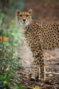 Gepard-Foto: Daniel Zupanc