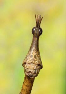Heuschrecken Weibchen. Foto: Daniel Zupanc