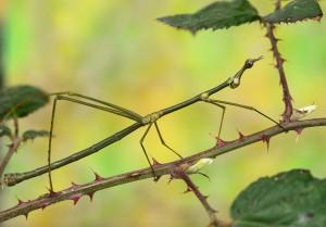 Heuschrecken-Männchen. Foto: Daniel Zupanc