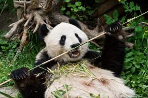 Großer Panda-Foto: Daniel Zupanc