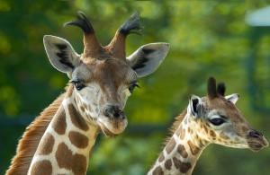 Diese Giraffen freuen sich schon auf ihr neues Zuhause im Zoo Wien. Foto: Daniel Zupanc