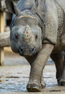 Nashorn Sundari schreitet zum Foto-Termin: Bild: Daniel Zupanc