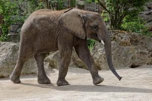 Elefantenbulle Tuluba gestern vor seiner Abreise aus dem Zoo Wien. Foto: Tiergarten Schönbrunn/Norbert Potensky