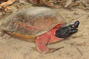Batagur Flussschildkröte. Foto: Peter Praschag