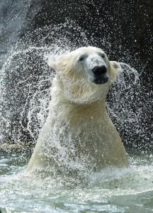 Eisbärenmännchen Ranzo. Foto: Daniel Zupanc