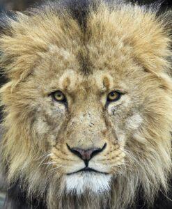 Löwen-Foto: Daniel Zupanc