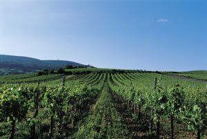 Weingärten in Traiskirchen in dem Weinbaugebiet Thermenregion in Niederösterreich. Foto: Österreich Wein Marketing/Armin Faber