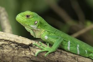 Ein Antillen-Leguan-Jungtier. Foto: Daniel Zupanc