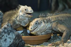 Hier erwachsene Antillen-Leguane. Foto: Daniel Zupanc