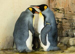 Nachwuchs bei den Königspinguinen im Zoo Wien. Foto: Daniel Zupanc