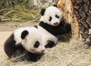 Die kleinen Pandas inspizieren nach dem letzten Wiegen ihre Umgebung. Foto: Daniel Zupanc