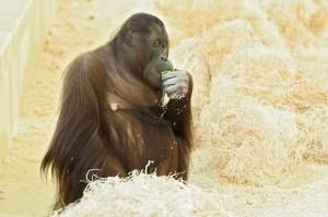 Orang-Utan-Weibchen Sol - in freudiger Erwartung. Foto: Daniel Zupanc