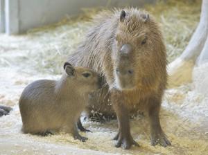 So sehen die Kleinen aktuell aus. Hier ein Jungtier mit Vater Sam. Foto: Tiergarten Schönbrunn/Norbert Potensky