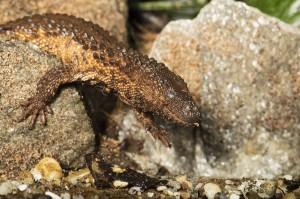 Taubwaran - erwachsenes Tier-Foto: Daniel Zupanc.
