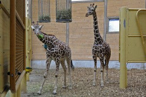 Fleur (rechts) und Sofie (links). Foto: Zoo Rotterdam / Rob Doolaard