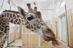 Giraffe Sofie gewöhnt sich bereits an die neue Umgebung. Foto: Tiergarten Schönbrunn/Norbert Potensky