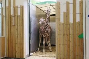 Zuerst waren beide noch ein bisserl zaghaft, doch dann überwand die Neugier die anfängliche Furcht. Beide Giraffen sind wohlbehalten in Wien eingetroffen. Foto: Tiergarten Schönbrunn/Simona Gabrisova