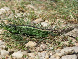 Wechselkröte sowie Zauneidechse erhalten neue Lebensraum-Biotope. Foto: C. Hill