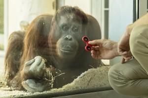 Sol erhält von Tierpfleger Sascha Grasinger den Fidget Spinner. Foto: Daniel Zupanc