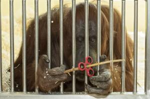 Nonja am Kontaktgitter im Trainingsbereich. Es gibt keinen direkten Kontakt zwischen Tierpflegern und Orang-Utans. Foto: Daniel Zupanc