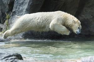 Eisbär-Foto: Daniel Zupanc
