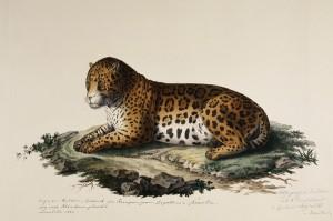 """Michael Sandler / """"3-ton Lithografie"""" Druck von Adolph Friedrich Kunike, H 31 x B 45 cm, um 1819. Das Jaguarweibchen war ein Geschenk der Kaiserin Leopoldina an ihren Vater Kaiser Franz II./I. Foto: NHM Wien"""