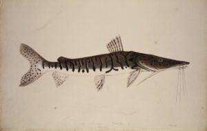 "Johann Natterer, ""Silurus Pintadoa"" (Antennenwels), Aquarell, H 33 x B 51 cm, 1824. Foto: NHM Wien"