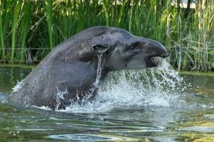 Tapir-Foto: Daniel Zupanc