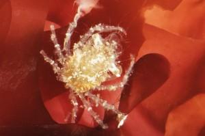 Seespinnen-Nachwuchs. Foto: Daniel Zupanc