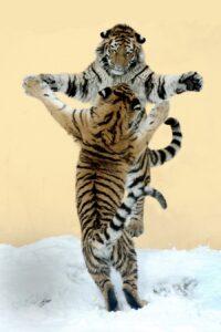 Die Tiger-Schwestern Kyra und Ina beim Spielen. Foto: Jutta Kirchner