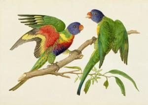 Regenbogenpapagei / April 1802, Melbourne. Foto: Natural History Museum, London.