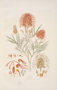 Grevillia banksia / 1813-14, London. Foto: State Library of NSW.