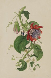 Passionsblumen, London, 1794, private collection (Sydney)
