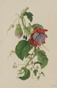 Passionsblumen, London, 1794, private collection (Sydney)